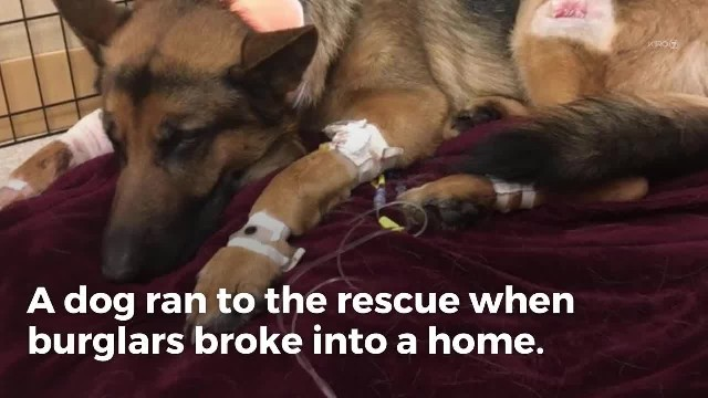 Dog takes four bullets saving boy from robbers - family alone couldn't pay for surgery to save him