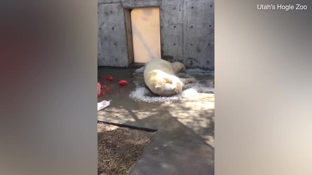 Video shows polar bear rolling in ice cubes on hot day at a Utah zoo