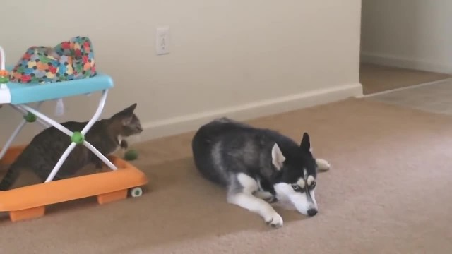 WOMEN HEARS CAT MEOWING AT DOG, BUT THEN SEES HE WON'T STOP WHEN SHE KEEPS THE CAMERA RECORDING