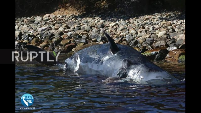 Italy Beached sperm whale had 22kg of plastic in stomach STILLS