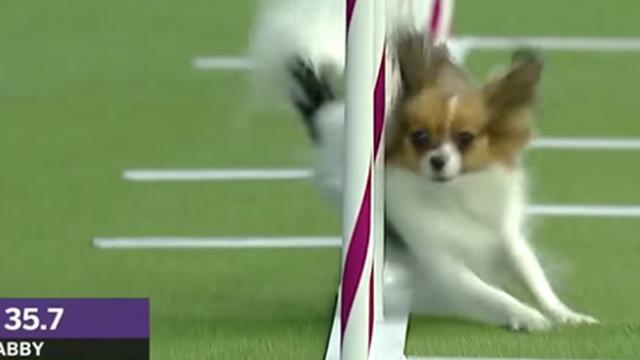 Tiny dog leaves competition in the dust as she sets agility speed record