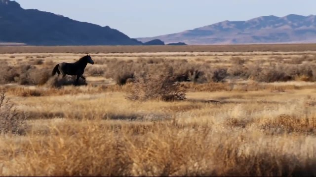 Wild horses rounded up by helicopter in program sparking controversy