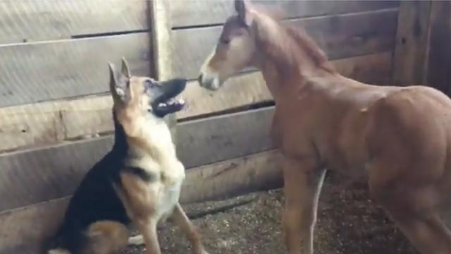 Curious German shepherd puppy playing with foal gets surprise kisses