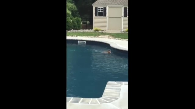 Woman sees strange animal in her pool, she realizes it's not a dog and grabs the camera