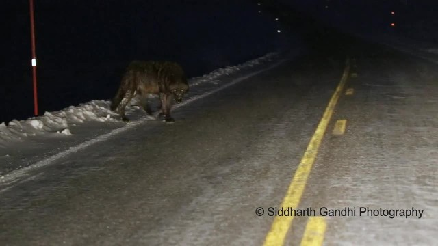 Giant Wolf Emerges From The Dark, Approaches Man's Car