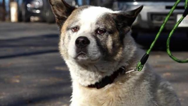 Akita dog reunited with family 101 days after going missing in California wildfire