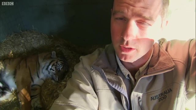 Tiger Gives Birth To Lifeless Cub, Then Caretakers Watch In Awe As Mother's Instincts Kick In