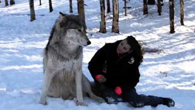 Giant wolf sits down next to this woman. Watch the moment their eyes meet