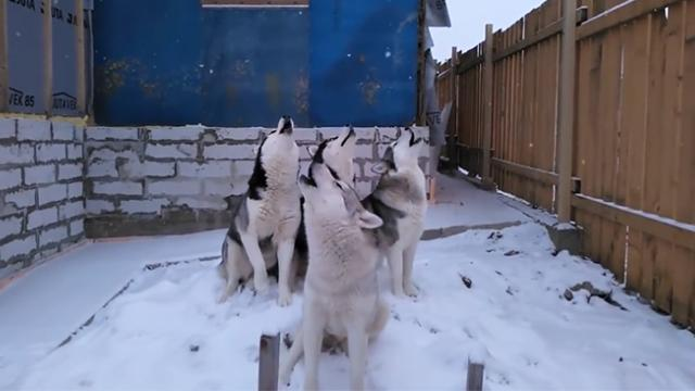 Huskies Gather In The Mornings To Sing The Song Of Their People