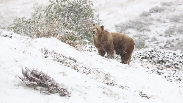 This Old Bear Just Experienced Snow For The First Time Ever