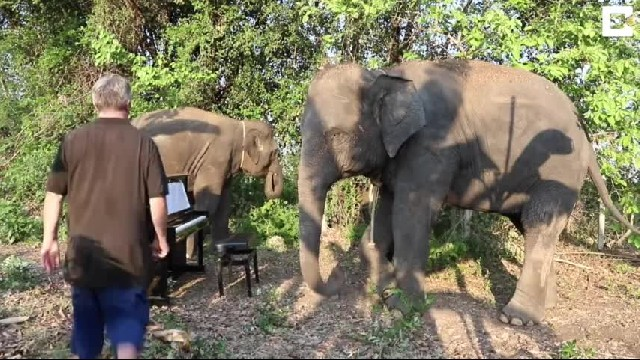 Paul Barton Plays Piano For Retired Elephants At Elephants World - Cute Videos