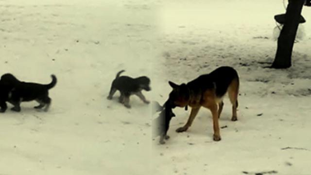 German shepherd puppies try to gang up on mom, but she quickly turns the tables on them