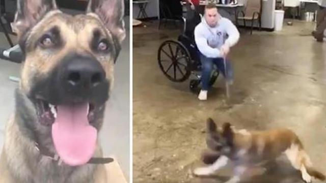 German shepherd fails his service dog training in the most hilarious way, and we're so in love