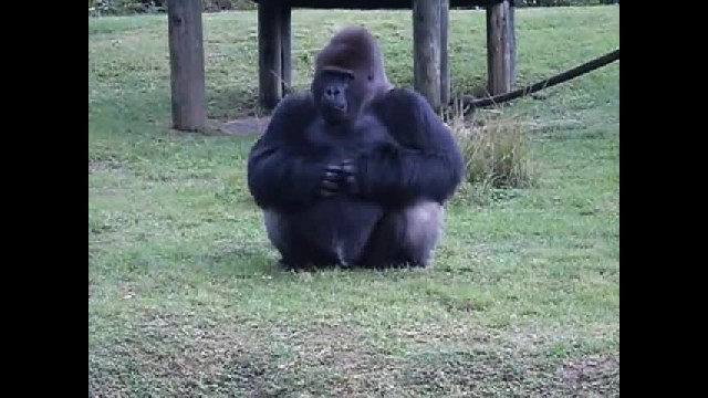 Gorilla Uses Sign Language To Tell People He's Not Allowed To Be Fed. Then Hilariously Breaks The Ru