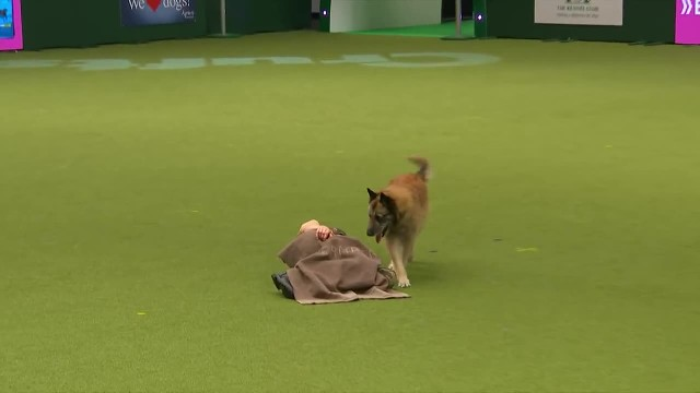 Amazing Dog Performs CPR, Squats and Press Ups in Heelwork To Music Routine   Crufts 2017