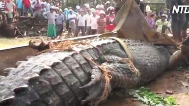 Villagers use excavator to pin down 17-foot crocodile before releasing it into pond