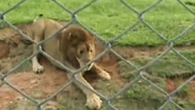 This rescued circus lion reacts to stepping on green ground for the first time