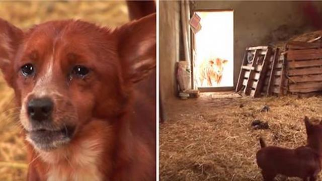 Sad pup is separated from cow that raised him when camera captures tear jerking moment they reunite