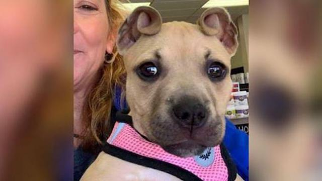 "Abandoned puppy has adorable ""cinnamon roll"" ears, and they helped her save her siblings"