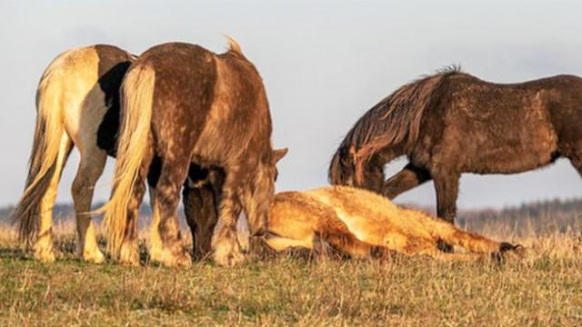 When one of the horses collapsed, the herd did domething never caught on film before