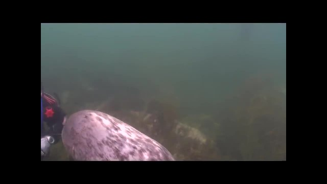 Somebody just wants his tummy tickled! Diver catches close encounter with friendly seal on underwate