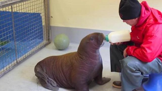 Baby walrus rescued - what happenned after he drank his milk melted everyone's heart