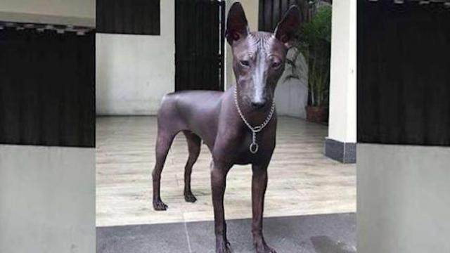 This rare breed of dog looks more like a statue and it's freaking people out