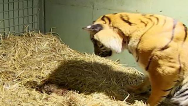 Tiger gives birth to lifeless twin cub only to have caretakers astonished when mother's instincts ki