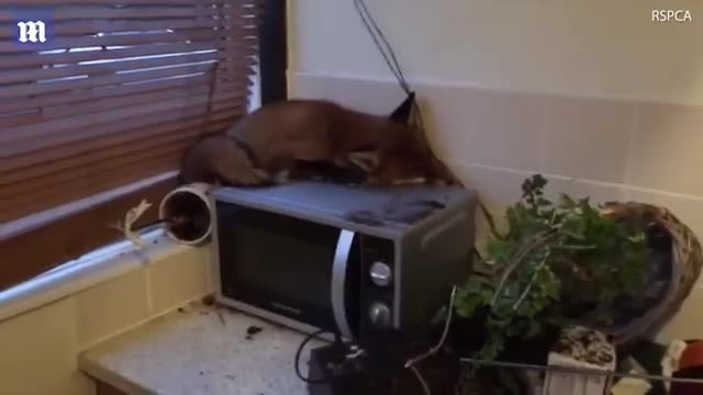 Family Wakes Up And Finds Fox Sleeping On Top Of Their Microwave