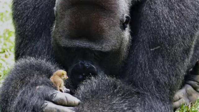 24-year-old gorilla found a small friend that weighed only 200 grams! they played together like real