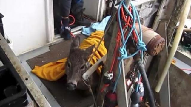 Lobster fisherman sees deer drowning in frozen ice, pulls freezing body onto boat