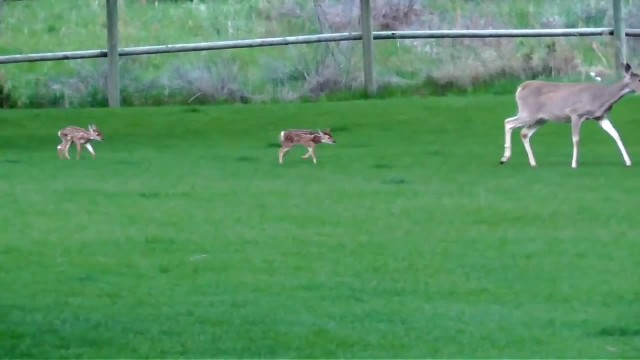 Dog becomes foster dad to baby deer that man brings home – she doesn't want to leave