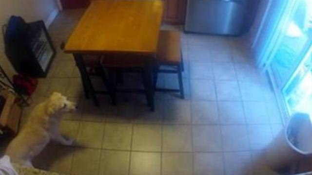 Mischievous family dog caught opening fridge and raiding contents