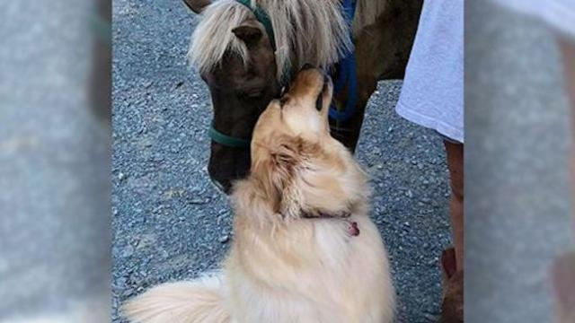 Golden retriever befriends emaciated horse, plays important role in getting him back to health