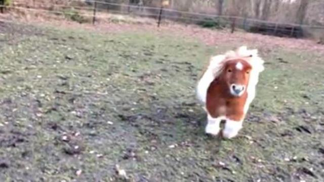 Hilarious miniature horse shows his happiness by bouncing and kicking!