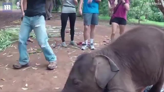 Baby Elephant Thinks Bald Man Is A Pacifier And He Loves Every Minute Of It