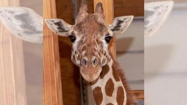 April the giraffe is ready to give birth to another calf, and