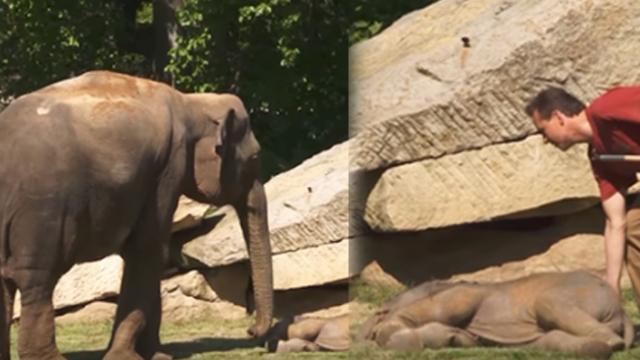 Worried mama elephant can't wake her baby, so the human steps in to help