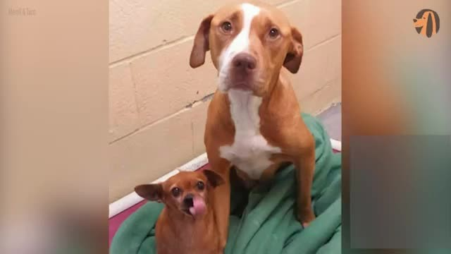 Pit Bull refuses to leave her best friend – even if someone wanted to adopt her