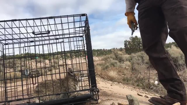 Terrifying bobcat kitten shows his nasty side to wildlife officers