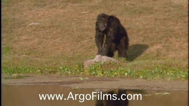 Woman's separated from chimps she raised. Watch the tearful moment their eyes lock 18 years later