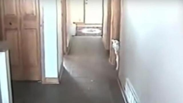 Tiny lamb gets inside house- As mom calls his name he panics with move that made the Internet lose i