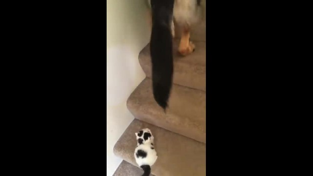"DOG SPOTS NEW KITTEN STRUGGLING UP STAIRS, HOW HE ""HELPS"" HER HAS MOM RUNNING FOR THE CAMERA"