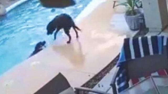Dog falls in pool and starts drowning, until his best friend