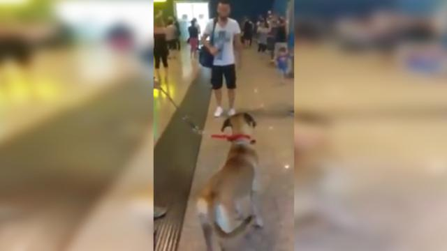 Dog can hardly believe his eyes when he's reunited with his dad at the airport