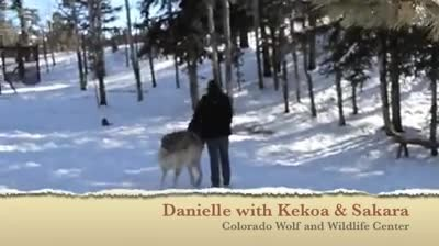 Giant wolf sits down next to this lady now watch the moment when their eyes meet