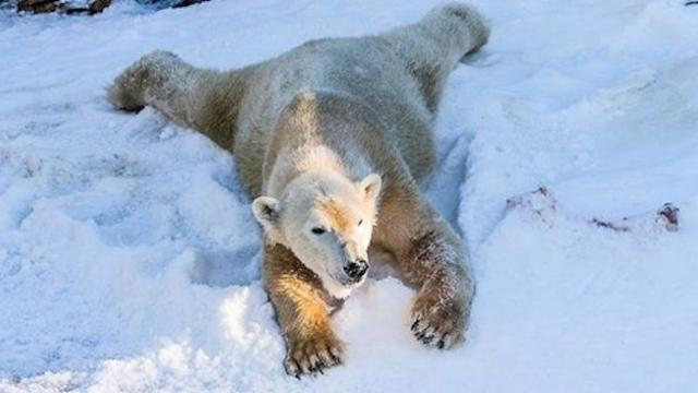 Polar bears at the San Diego zoo see snow for the first time, and their reaction is priceless