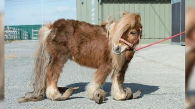 Rescuers find pony barely able to walk from curled hooves after 10 years of neglect