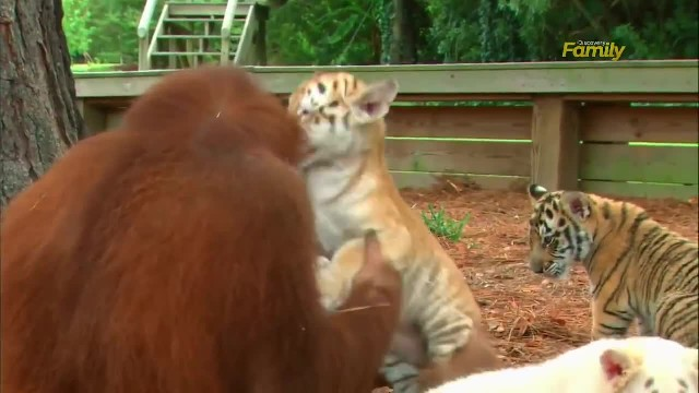Heartwarming moment orangutan adopts tiger cubs and takes care of them like his own children