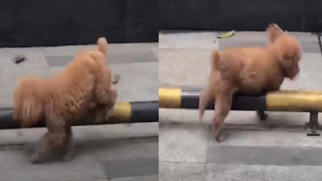 The video of a bored dog playing 'hurdles' made millions of people melt